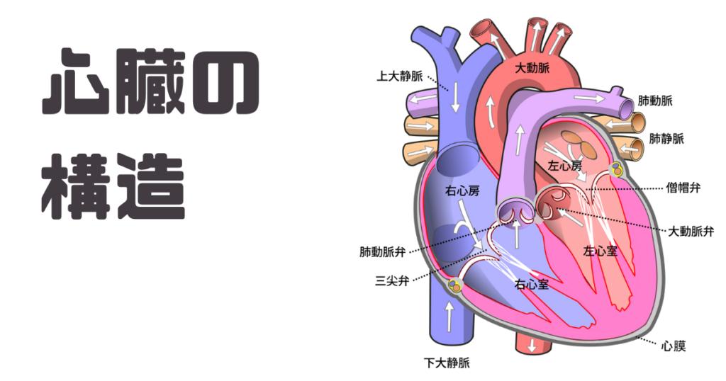 心臓の構造について画像