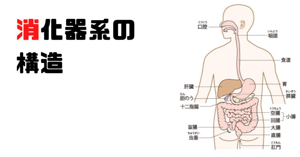 消化器系の構造を解説