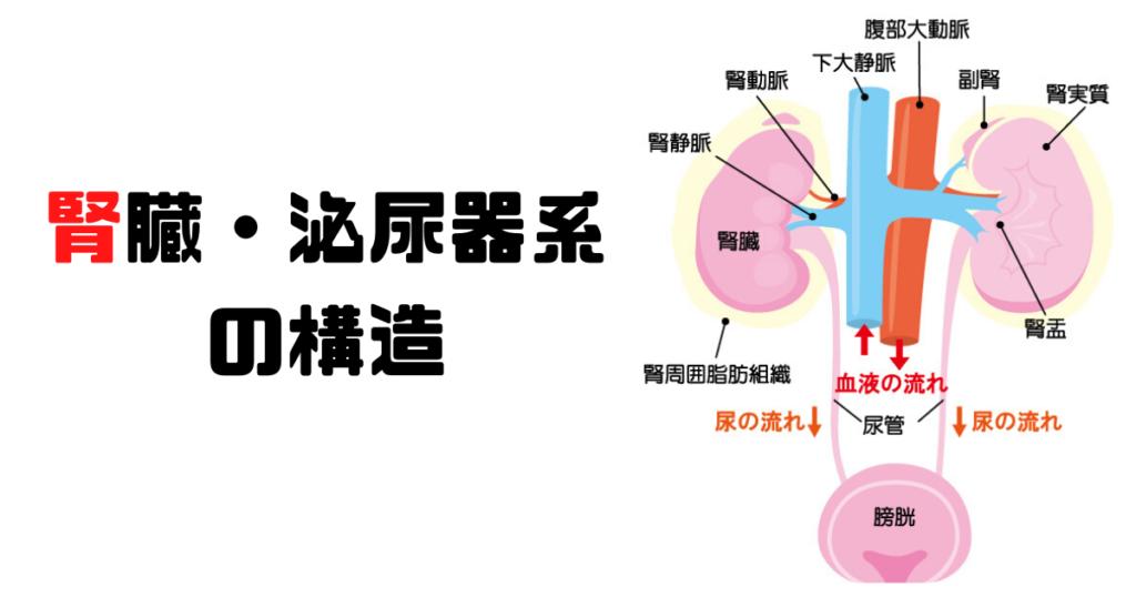 腎臓・泌尿器の構造を解説